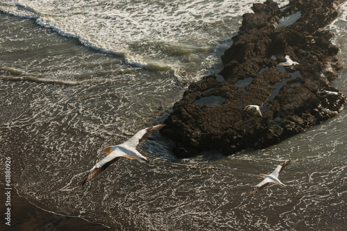 gannets soaring above tidal waves