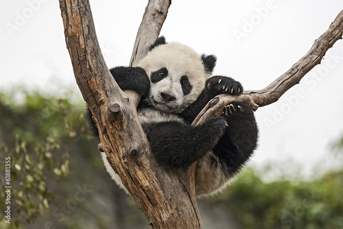 Foto op Aluminium Panda Giant Baby Panda Hanging on a Tree
