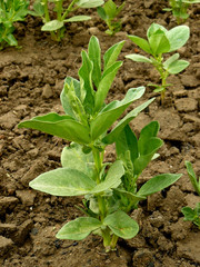 small broad bean plants