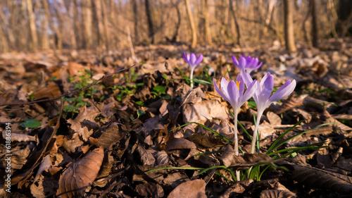 In de dag Krokussen Frühlingsboten im Leipziger Auwald