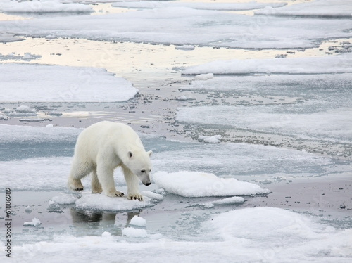 Aluminium Ijsbeer Polar bear in natural environment
