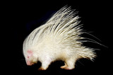 albino porcupine isolated