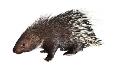 porcupine isolated