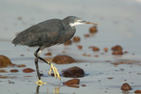 Western Reef Heron walking on wet sand