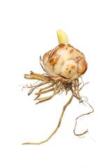 Lily bulb