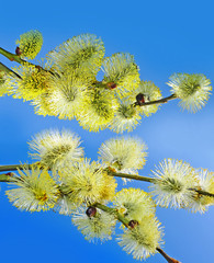 spring branches of willow with catkins
