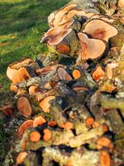 Frisch gesägter Baumstamm
