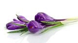 Beautiful violet crocus isolated on white