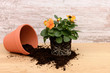 canvas print picture - Blume umpflanzen