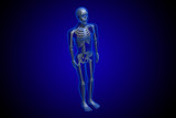 3d rendered Skeleton on a blue background