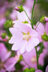 pink mallow flower