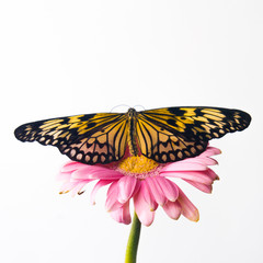 Beautiful Plain Tiger butterfly perching on pink flower