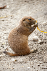 Black-tailed prairie dog eating