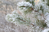 Twig of pine hoarfrost covered