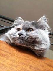 gatto siberia i