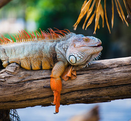 Orange Iguana with  close up in the zoo (Iguana iguana)