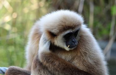 Monkey - Gibbon