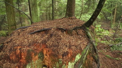 Rainforest Nurse Stump, Pacific Northwest