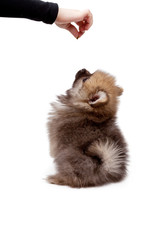 Feeding pomeranian puppy isolated on white background