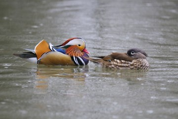 Pair of Mandarin Duck (Aix galericulata), or Mandarin