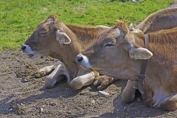 Ein Almsommer - Rinder im Urlaub auf der Alm