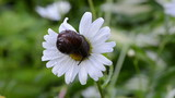 wet snail on daisy flower bloom center covered with dew drops
