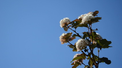 viburnum snowball white bush branch blooms move on blue sky