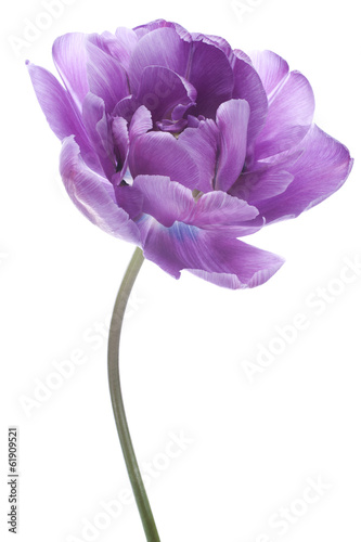 Foto op Aluminium Bloemenwinkel tulip