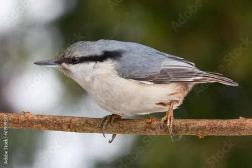 Closeup of eurasian nuthatch sitting on branch