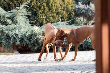 Psy Rodezjany, Rhodesian Ridgeback, w czasie zabawy.