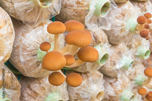 Yanagi Mutsutake Mushrooms Growing In the Farm