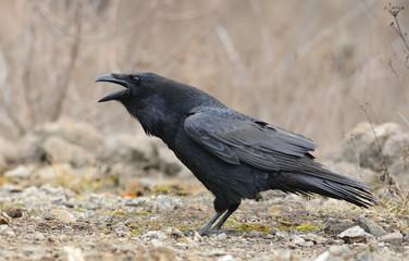 Raven Screaming