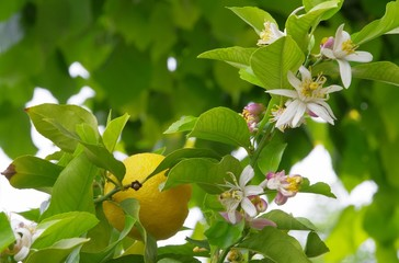Zitrone am Baum - lemon on tree 10