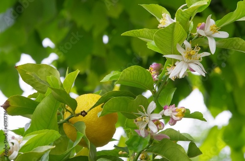 canvas print picture Zitrone am Baum - lemon on tree 10