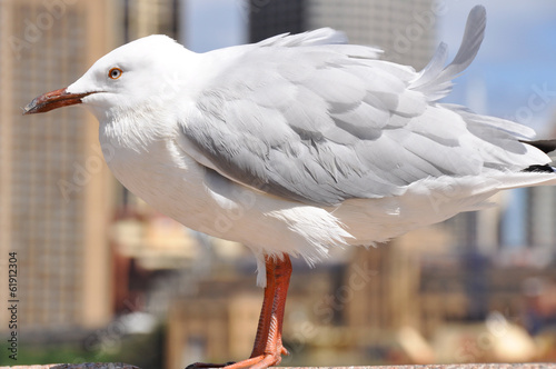 Seagull, city of Sydney as background