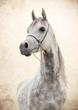 portrait of gray beautiful arabian stallion at art background