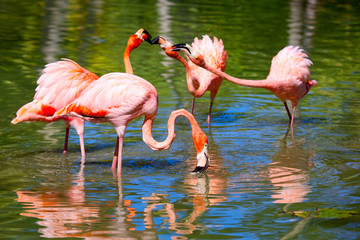 Pink Caribbean flamingos ( Phoenicopterus ) feeding on water