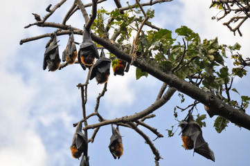 Flying foxes hang in a tree, Botanical Gardens of Sydney