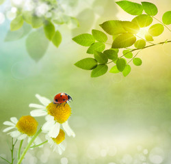Daisies field and ladybug