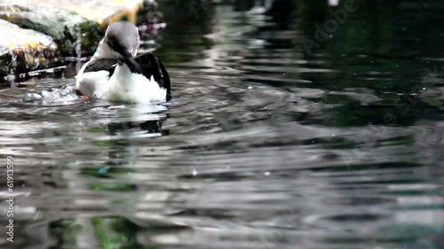 Common Murre enjoying the pond
