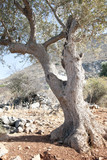 Olive tree, island of Crete on the Mediterranean sea