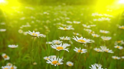 chamomile flowers
