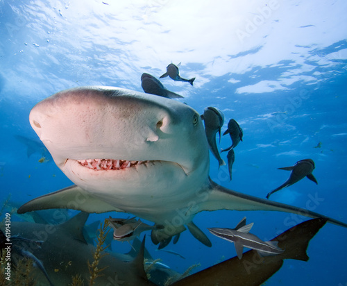 Head of Lemon Shark
