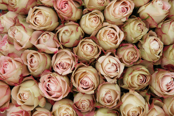 Pale pink rose buds