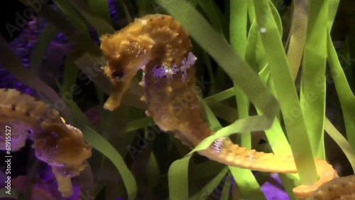 Seahorse in the aquarium