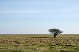 Alone tree at a coastal grassland