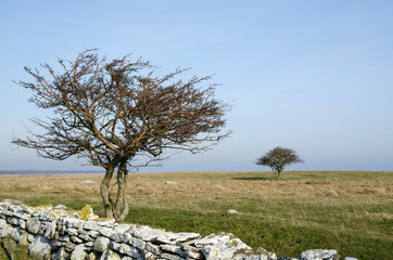 Two bare trees in a grassland