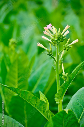 close-up green tobacco flower in tobacco fied
