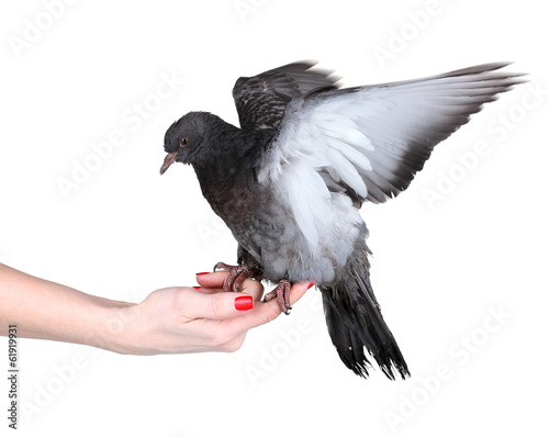 beautiful gray pigeon in hand isolated on white