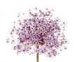 Flowering onion
